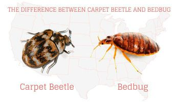 What Do Bed Bugs Look Like 2019